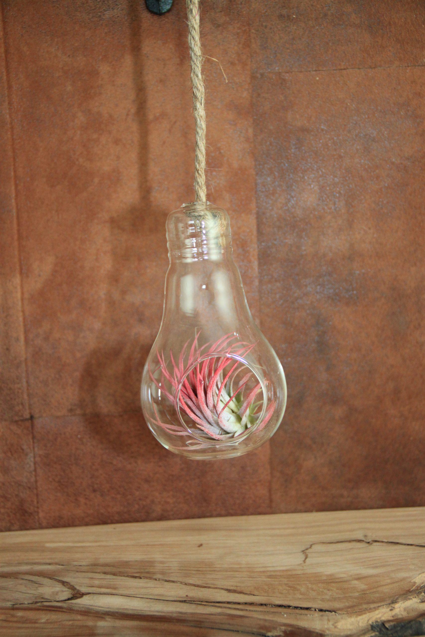 plantje bulb tillandsia rood